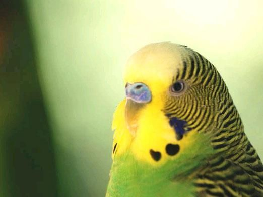 Как определить возраст попугая?