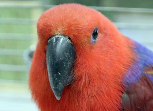 Как отличить попугаев?