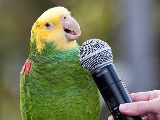 Як співають папуги?