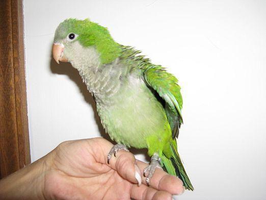 Как понять попугая?