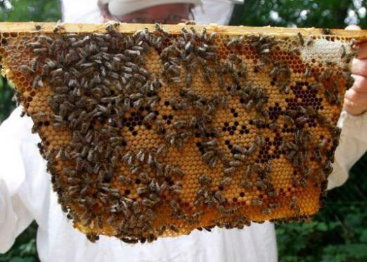 Как разводить пчел?
