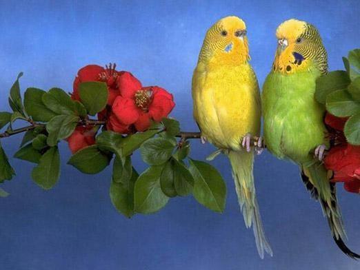 Как разводить попугаев?