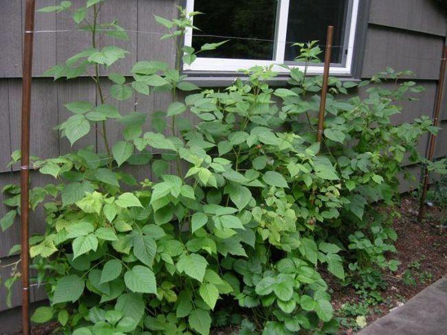 як садити малину