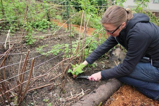 як садити малину живцями