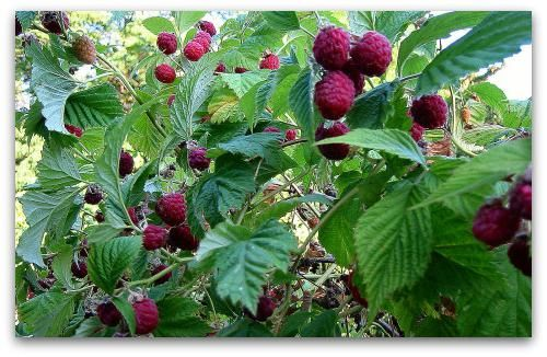 саджанці малини як садити