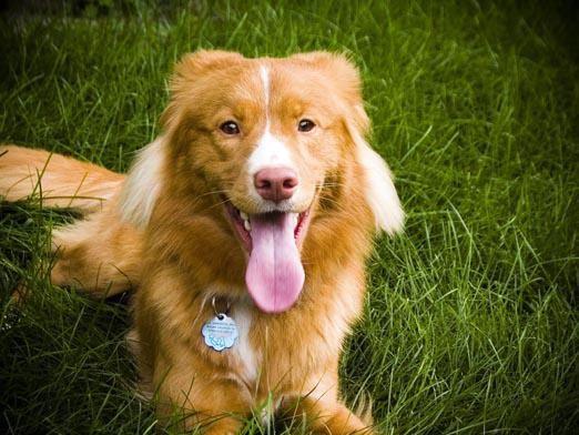 Как сделать собаке родословную?