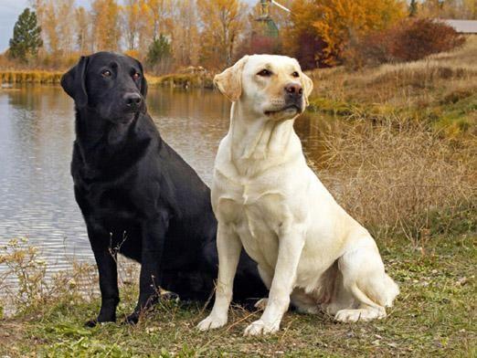 Как сводить собак?