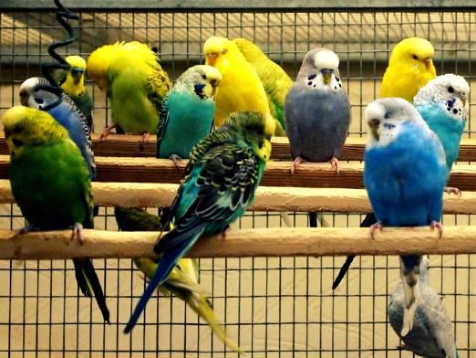 Как выбрать попугая?