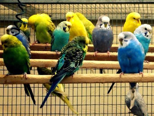 Як вибрати папугу?