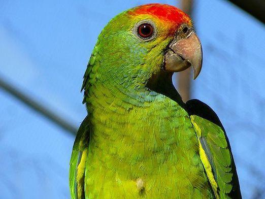 Как выглядит попугай?