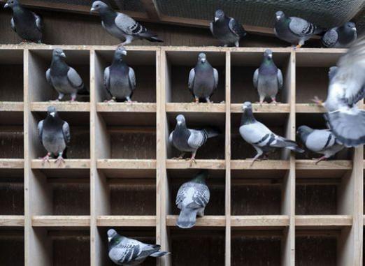 Как выращивать голубей?