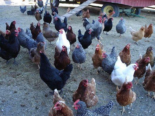 Как выращивать кур?