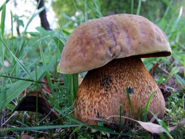 Їстівні гриби синіючі на зрізі