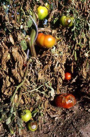 томати фітофтороз профілактика