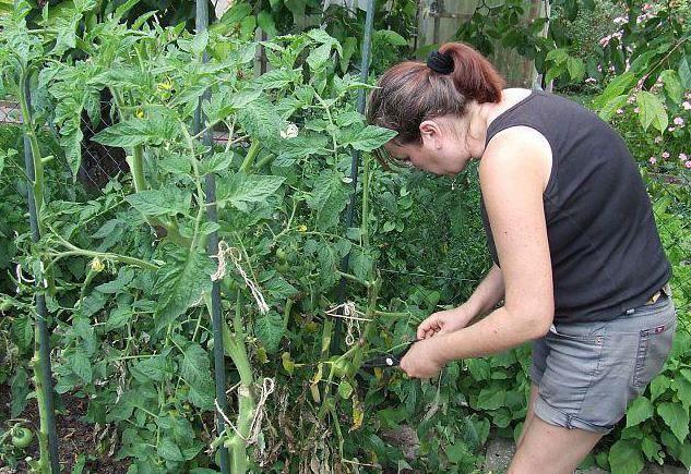 томати фітофтороз фото