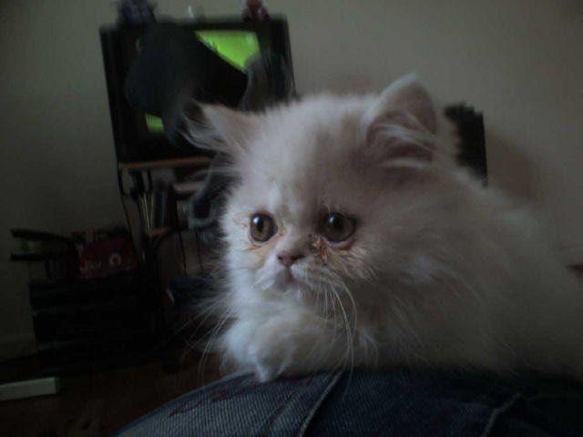 плаче білий кіт