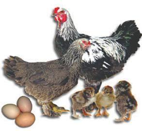 кури породи брама