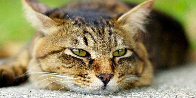 хворий кіт