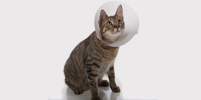 Кот після хірургічного лікування сечокам'яної хвороби