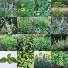 Одуванчик - полезные свойства всем знакомого цветка