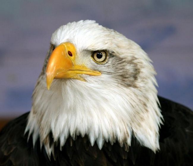 Орел - птица степей