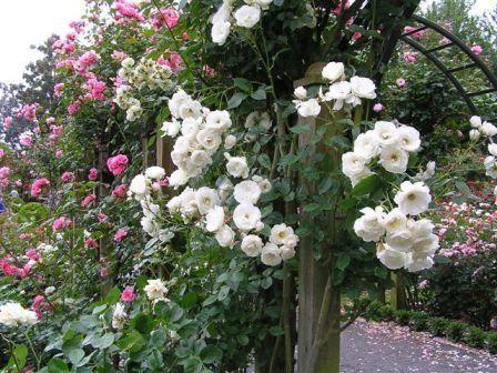 Плетистая роза: выращивание и уход за растением на приусадебном участке