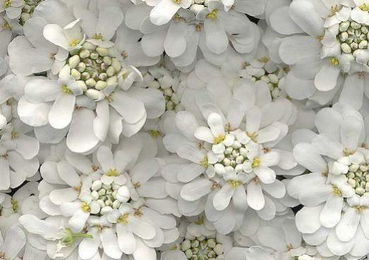 Почему цветы белые?