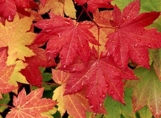 Почему краснеют листья?