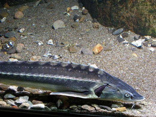 Почему осетровых рыб называют проходными?