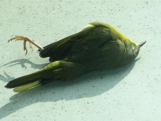 Чому падають птахи?