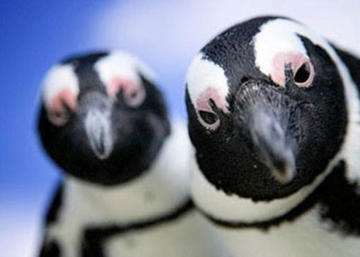 Чому пінгвіни не літають?