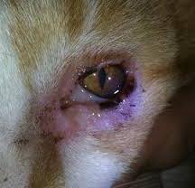 чому у кота сльозяться очі