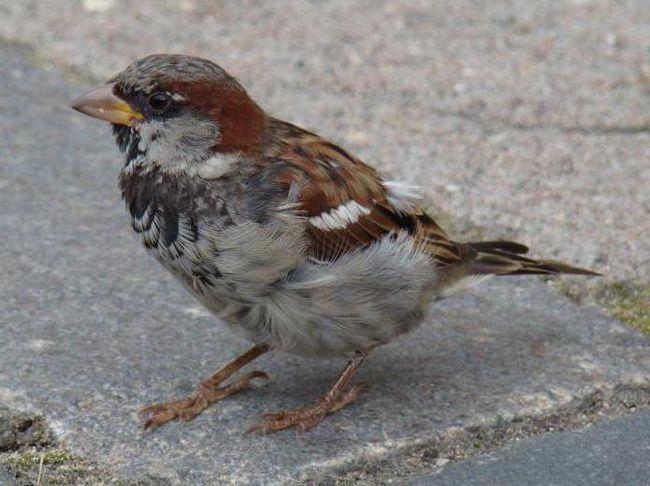 пташеня горобця чим годувати