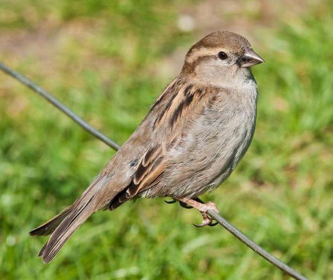 чим годувати пташеняти горобця в домашніх умовах