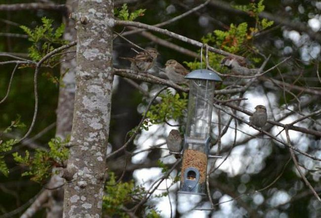 пташеня горобця фото чим годувати
