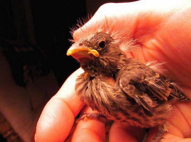 чим годувати опери пташеня горобця