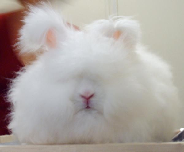 Пушистый комочек - ангорский кролик