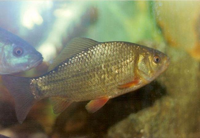 Рыба карась: как и где её ловить