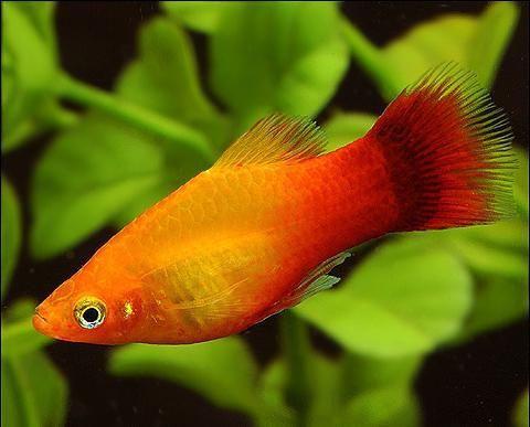 акваріумні рибки назви