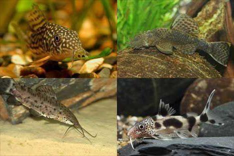 домашні рибки