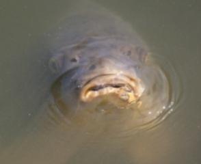 Рыбная ловля: сазан-красавец