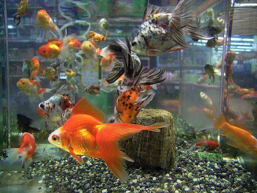 С кем уживается золотая рыбка?