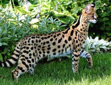 найбільша кішка