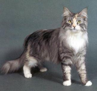 великі кішки породи