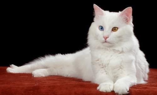 найбільші домашні кішки