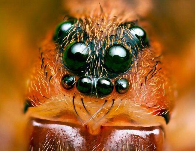 скільки очей у павука