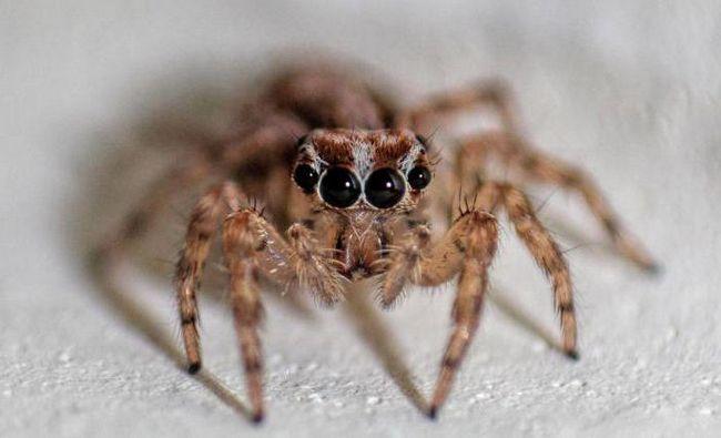 скільки голос у більшості видів павуків