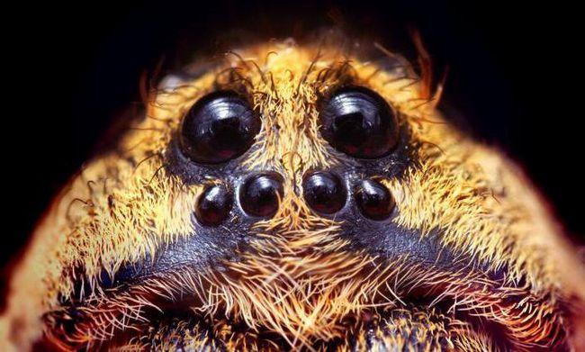 скільки очей у павука хрестовика
