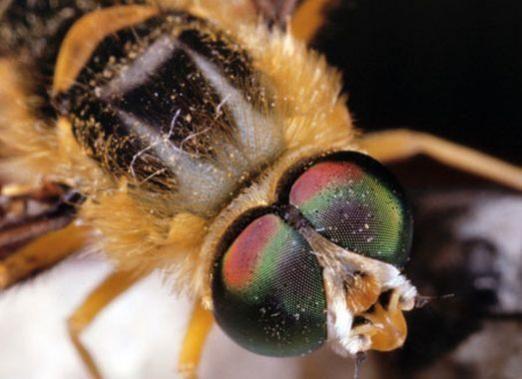 Скільки очей у бджоли?