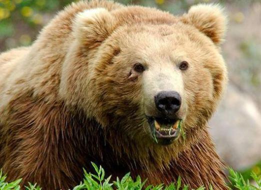 Скільки важить ведмідь?